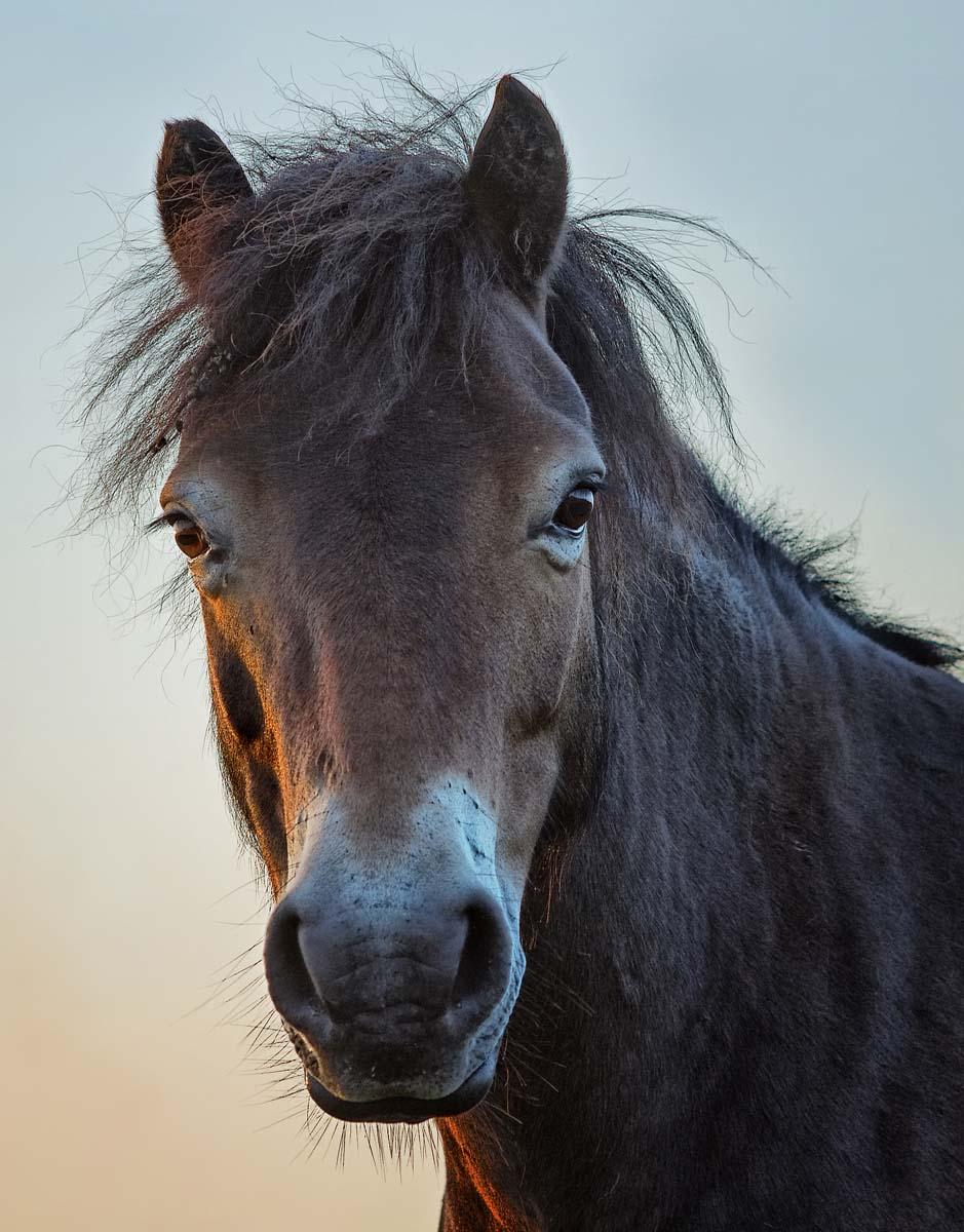 pony portrait in morning light