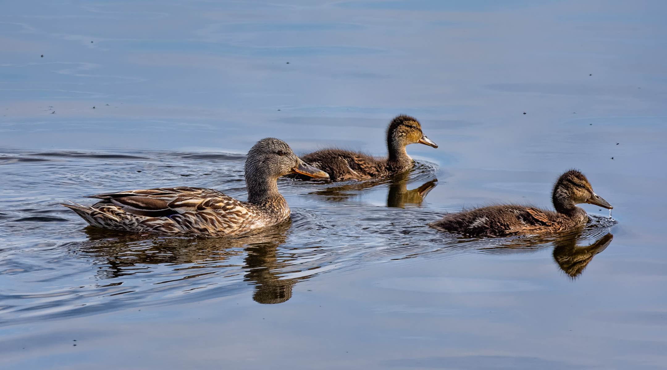 portrait of two mallard ducklings and their mother