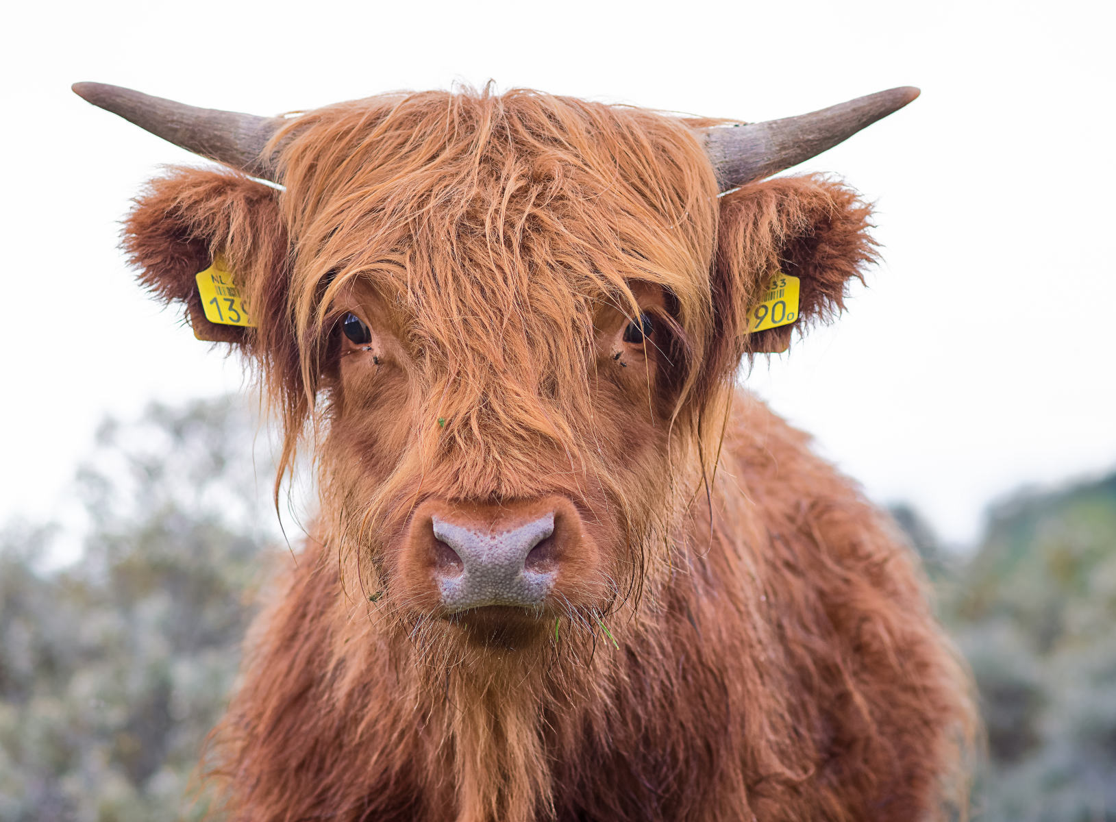 portrait of a young highland bull