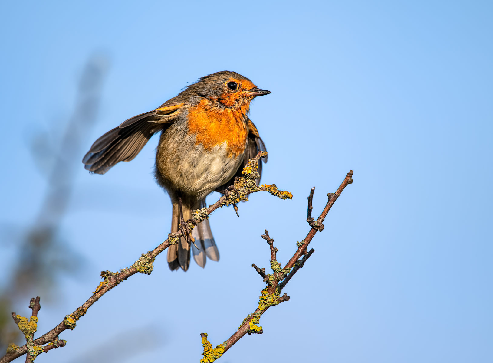 robin on branch spreading its wings