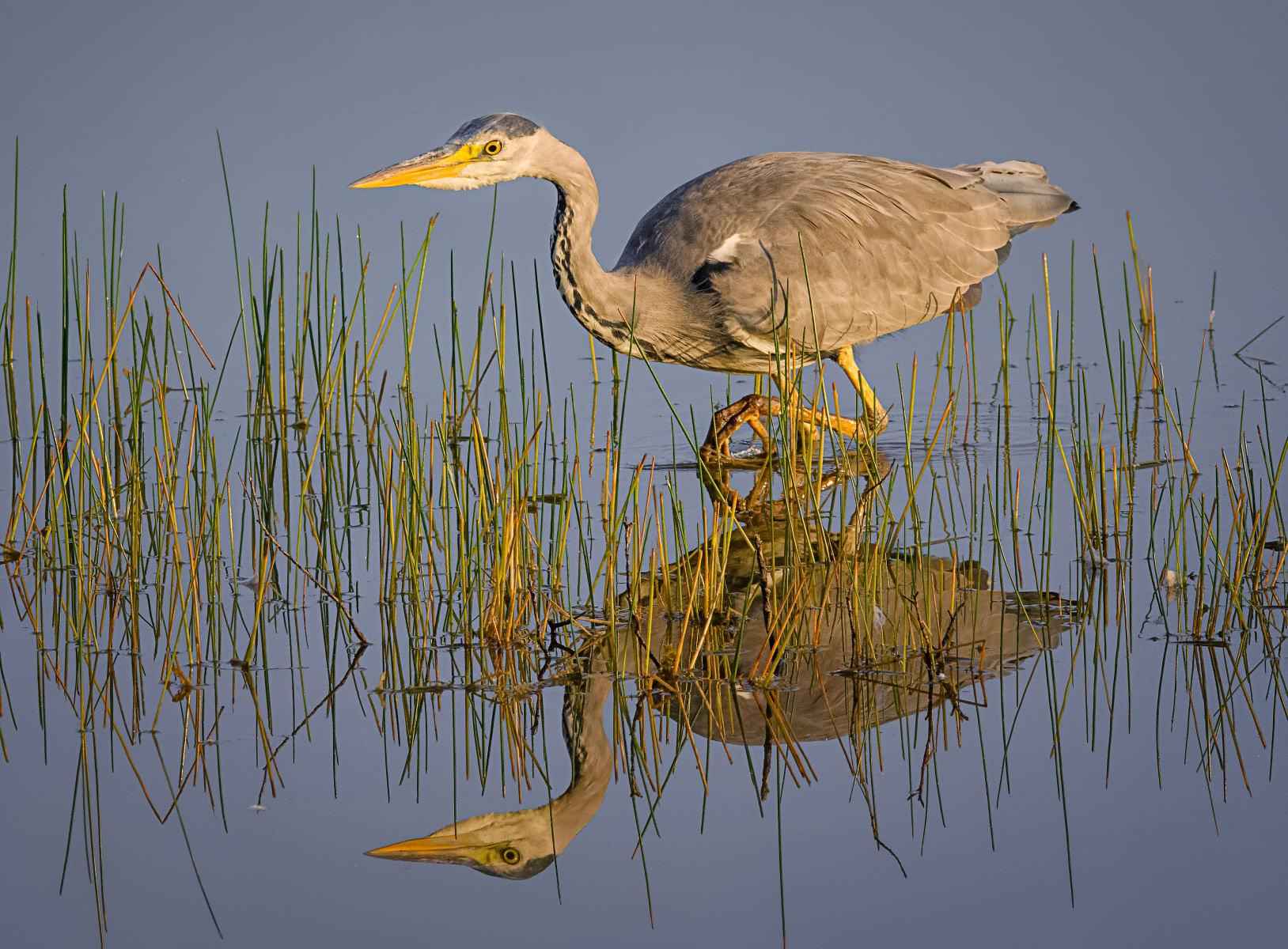 stalking grey heron