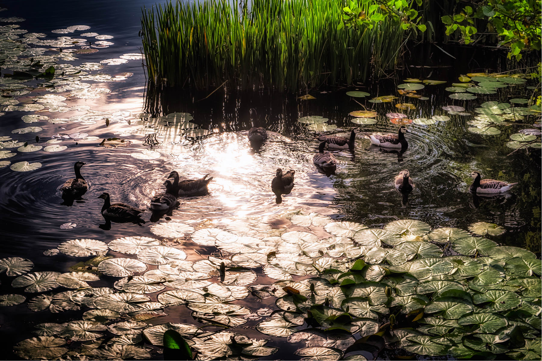 sunlight reflection in pond with waterlilies and geese