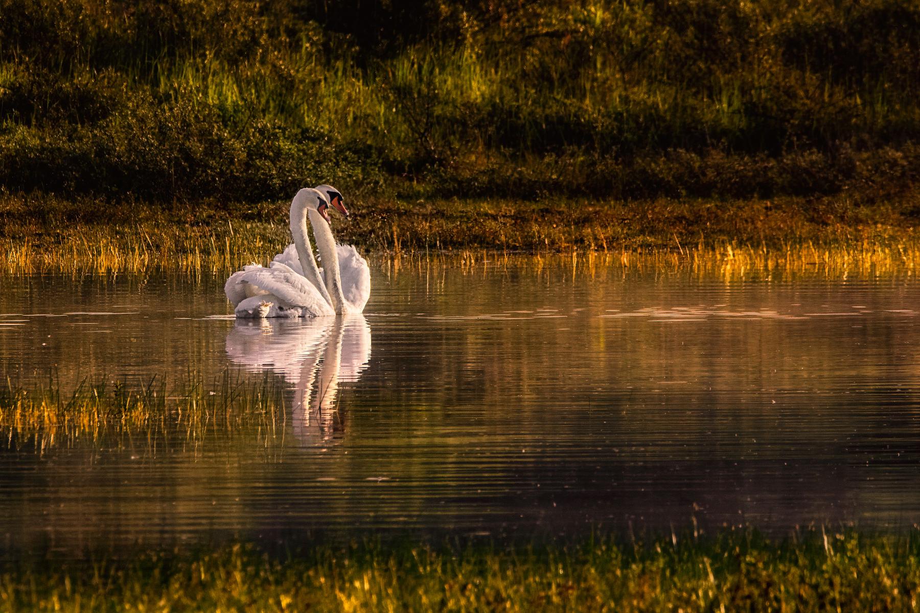 swans dancing a pas de deux