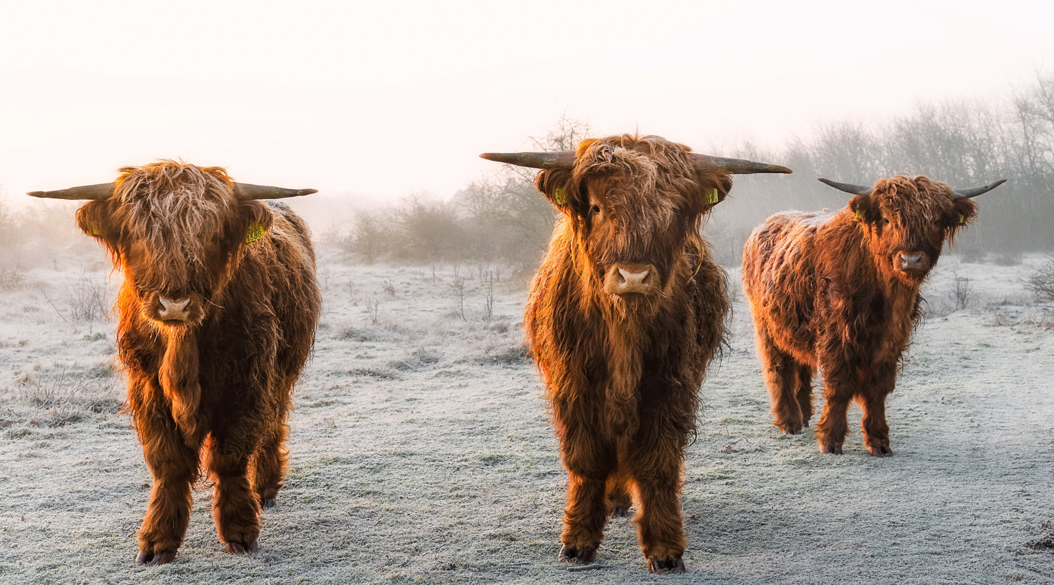 the three musketeers in winter glow