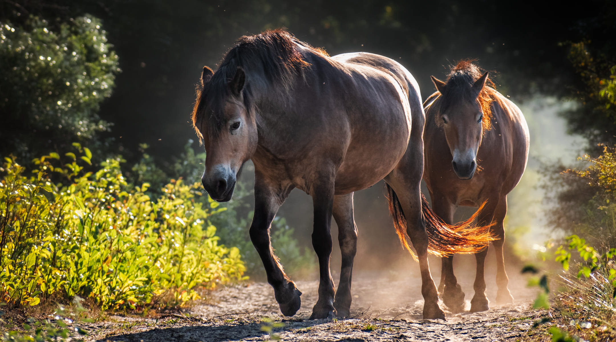two horses approaching on a sandy forest path in backlight