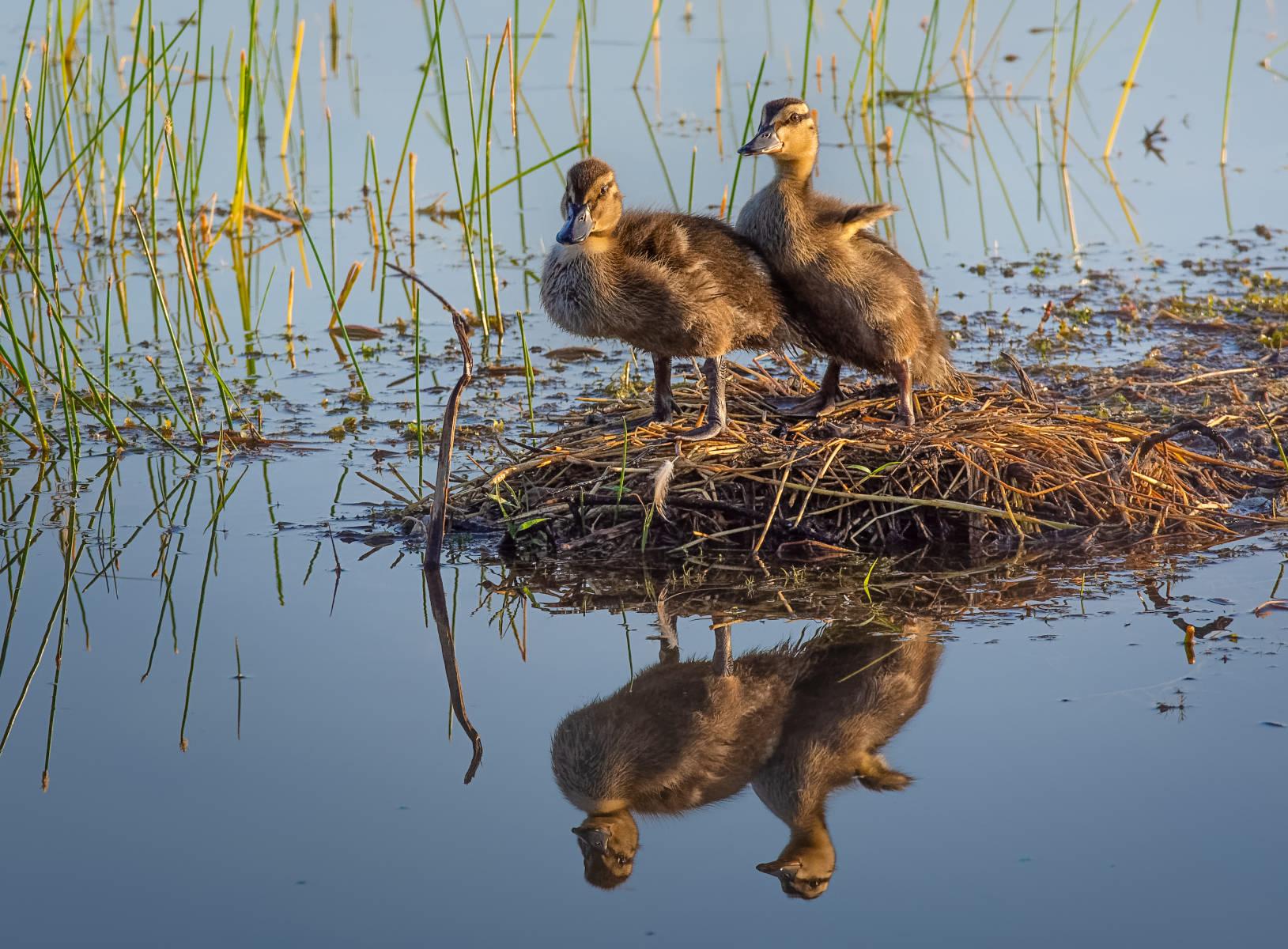 two mallard ducklings posing for a portrait