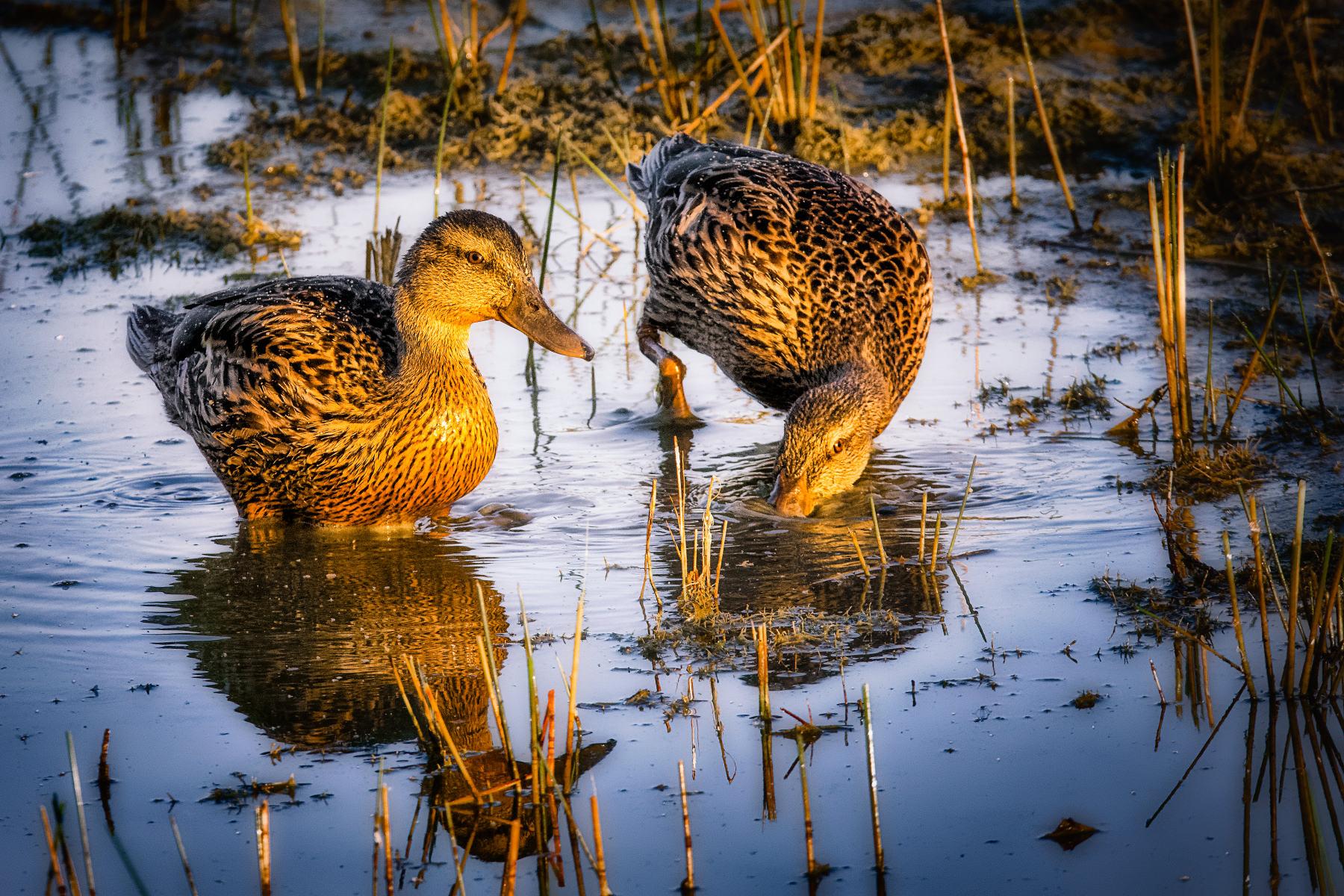 two mallards feeding in morning light