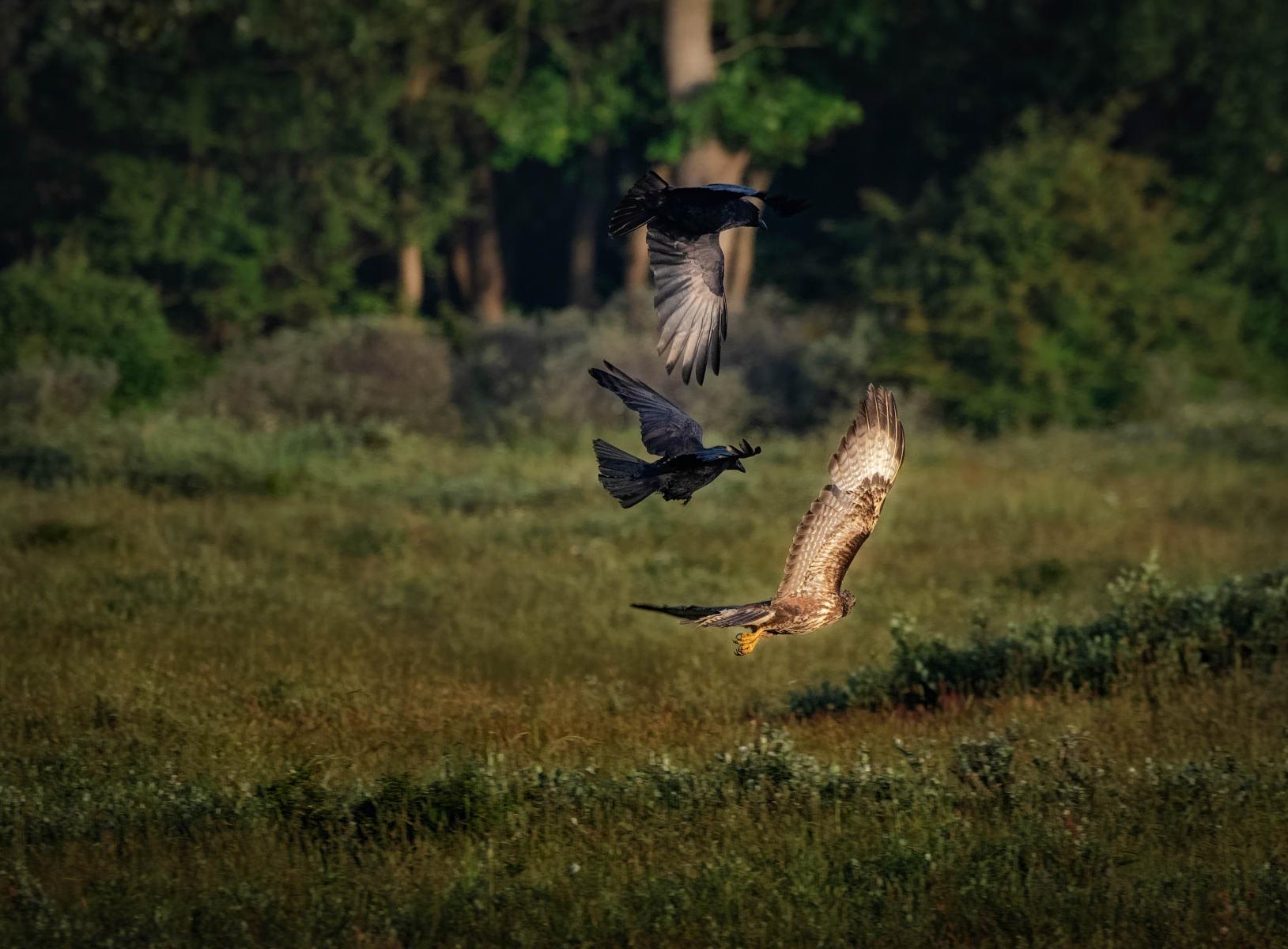 two territorial crows mobbing a buzzard