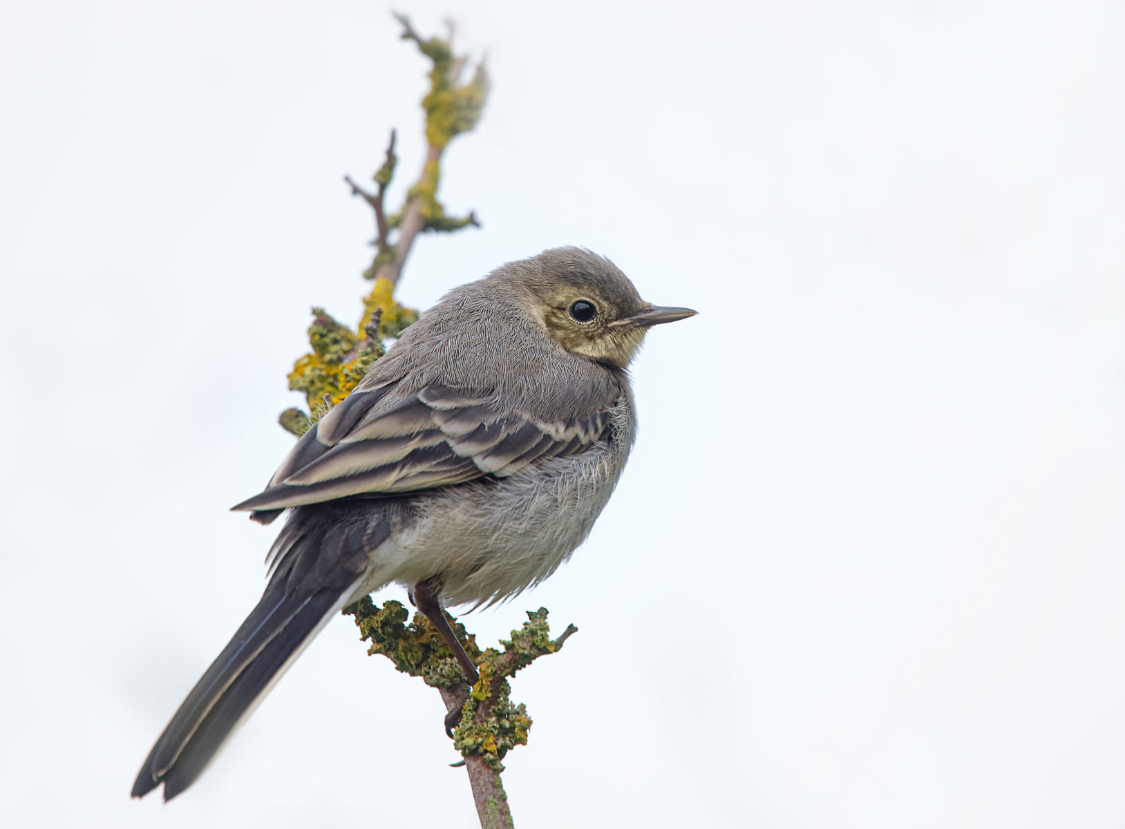 white wagtail juvenile on lichen covered branch