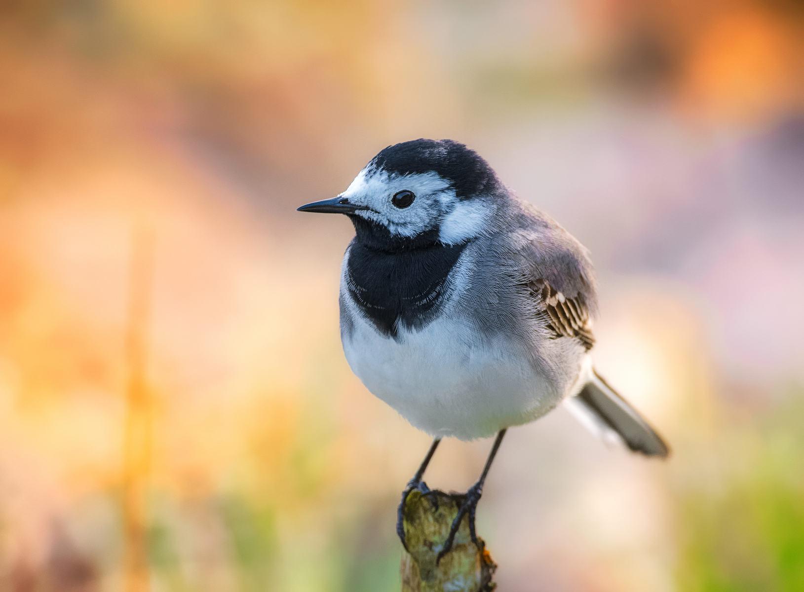 white wagtail posing on a stalk