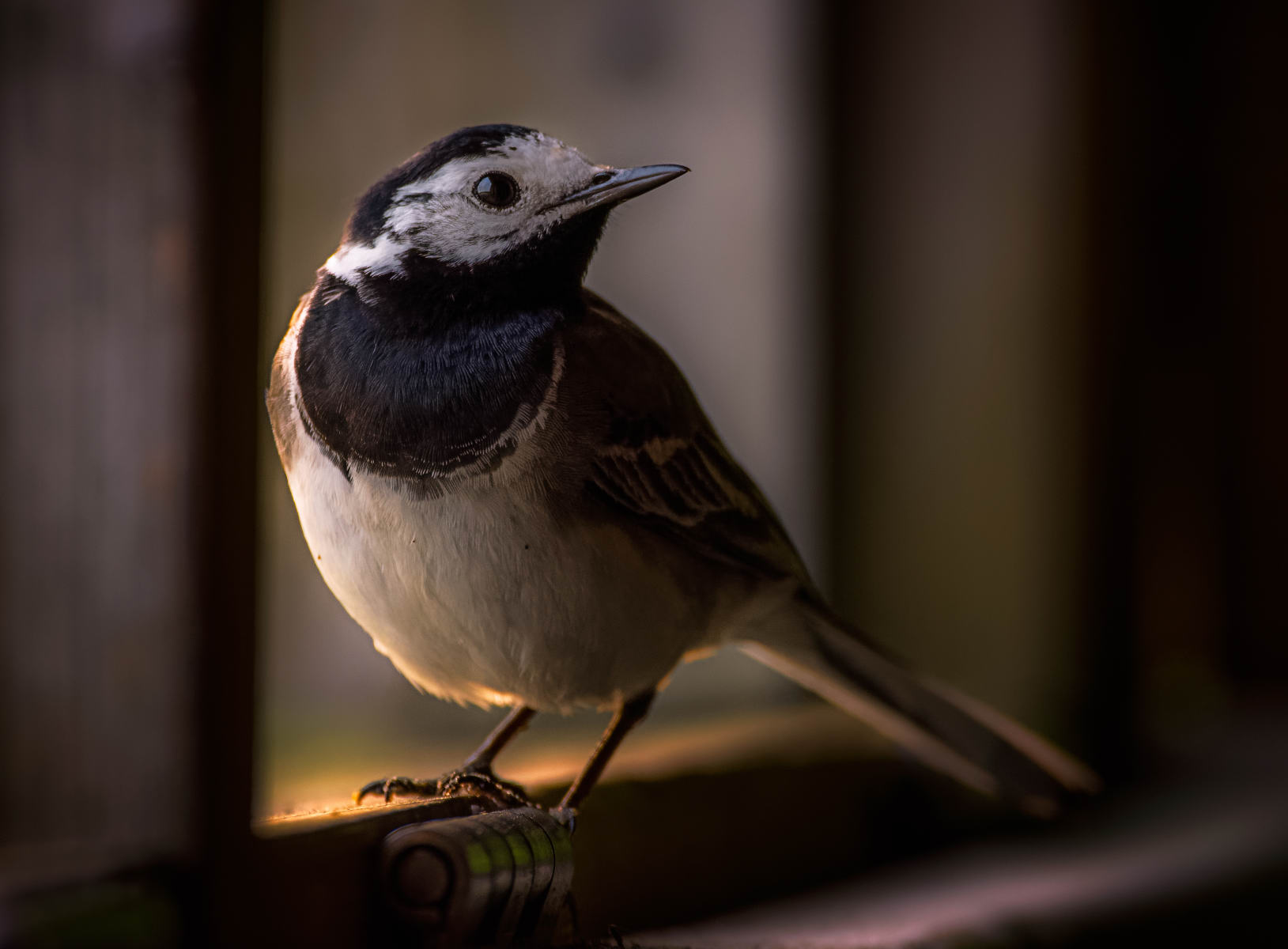 white wagtail in open window