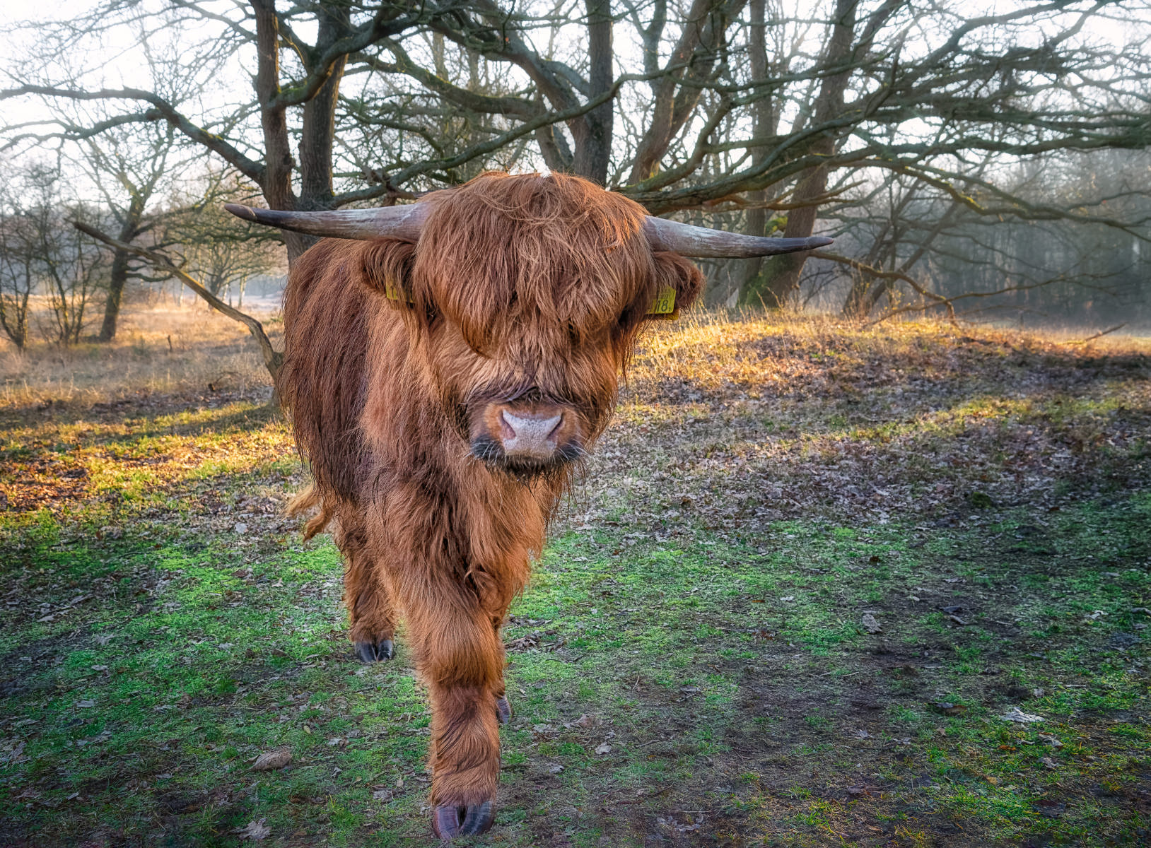 young highland bull approaching from copse of bare oak trees