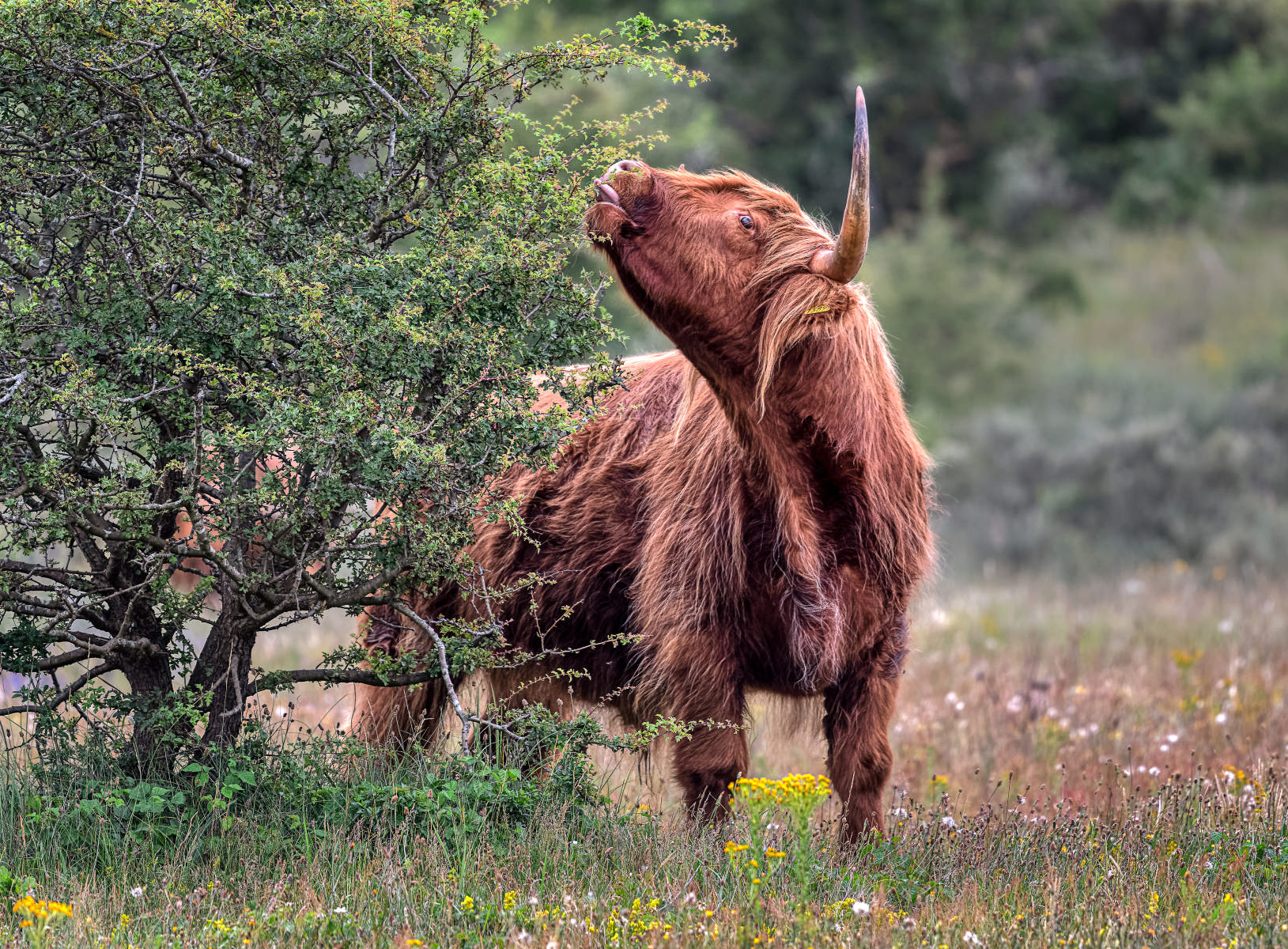 young higland bull reaching for some juicy leaves