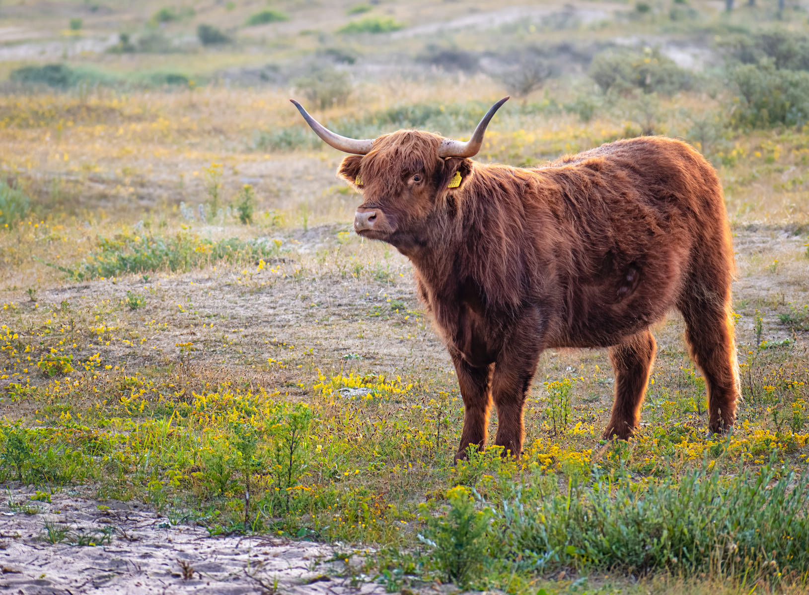 young highland cow amid yellow dune flowers
