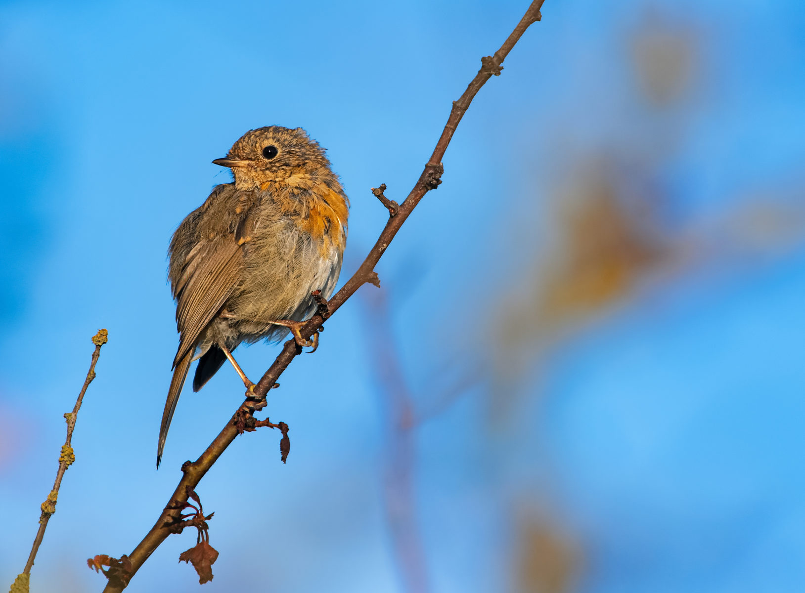 young robin looking sideways with head turned backward