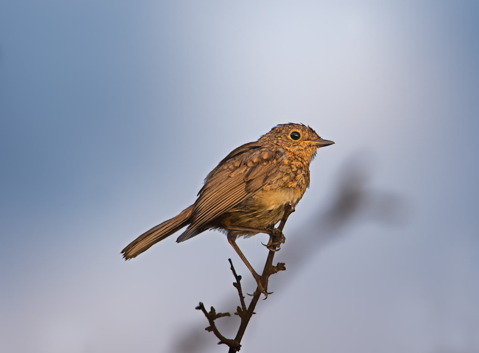 young robin on branch against blue sky